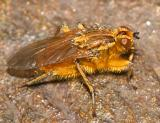 Golden Dung Fly - Scathophaga stercoraria