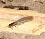 reproductive Eastern Subterranean Termite - Reticulitermes flavipes