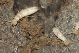 Eastern Subterranean Termite - Reticulitermes flavipes
