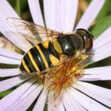 Transverse Flower Fly - Eristalis transversa (female)