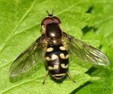 Dasysyrphus osborni