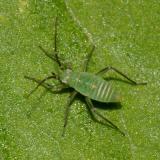 Plant Bug nymph