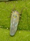 Aster Leafhopper - Macrosteles quadrilineatus