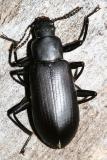 False Mealworm Beetle - Alobates pennsylvanica