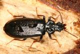 Dead Log Beetles - Pythidae
