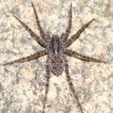Pardosa milvina (female)