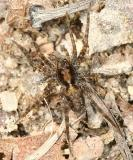 Pardosa milvina (male)