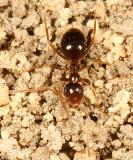 False Honey Ant - Prenolepis imparis