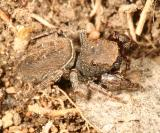 Jumping Spiders - Genus Ghelna