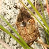 Bumble Flower Beetle - Euphoria inda