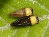 Calophya nigripennis