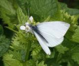 Cabbage White - Pieris rapae - male without any spots