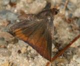 Henry's Elfin - Callophrys henrici in flight