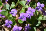 Common Blue Violet - Viola sororia