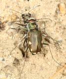 Cicindela scutellaris mating