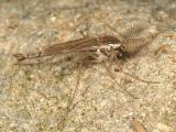 Chaoborus flavicans (male)