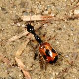 Odacanthini - Long-necked Ground Beetle - Colliuris pensylvanica