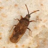 Leptoypha mutica