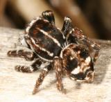Jumping Spiders - Genus Sitticus