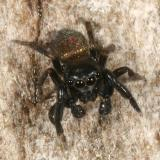 Jumping Spiders - Genus Sassacus