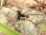 Pardosa saxatilis