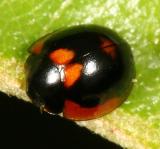 Lady Beetles - Genus Exochomus