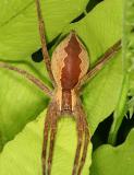 female Nursery Web Spider - Pisauridae - Pisaurina mira