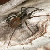 Wolf Spider - Lycosidae - Pardosa sp.