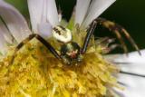 Crab Spider - Thomisidae - Goldenrod Crab Spider - Misumena vatia (male)