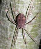 Harvestman - Opiliones sp.