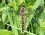 Common Baskettail - Epitheca cynosura (female)