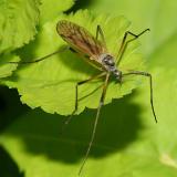 Limoniid Crane Fly - Limoniidae - Limnophila rufibasis