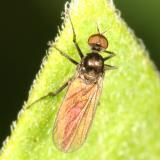 Bicellaria sp.