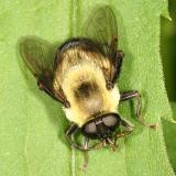Syrphidae - Eristalinae - Eristalini - Mallota posticata