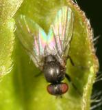 Leaf Miner Fly - Agromyzidae