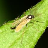 Midge - Chironomidae