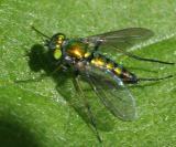 Longlegged Fly - Dolichopodidae - Sciapodinae - Condylostylus sp.