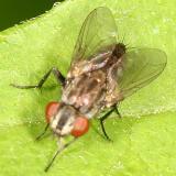 Tachinidae
