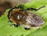 Syrphidae - Eristalinae - Merodontini - Merodon equestris