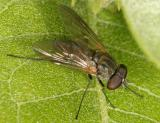 Rhagionidae: Symphoromyia hirta