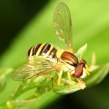 Syrphidae - Syrphinae - Syrphini - Sphaerophoria sp.