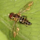 Syrphidae - Syrphinae - Toxomerini -Toxomerus geminatus