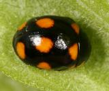 Orange-spotted Lady Beetle - Brachiacantha ursina