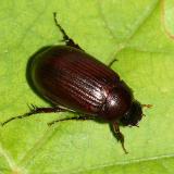 Scarabaeidae - Serica sp.