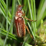 Scarabaeidae - Melolonthinae - Dichelonyx albicollis