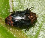 Metallic Wood-boring Beetle - Buprestidae - Brachys aerosus