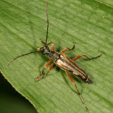 Flower Longhorn Beetle - Lepturinae - Analeptura lineola