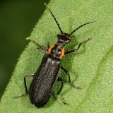 Cantharidae - Podabrus rugosulus