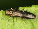 Metallic Wood-boring Beetle - Buprestidae - Agrilus sp.