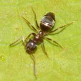 Odorous Ant - Tapinoma sessile